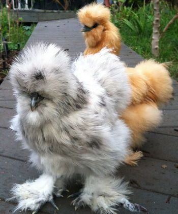 Silkie rooster how to tell