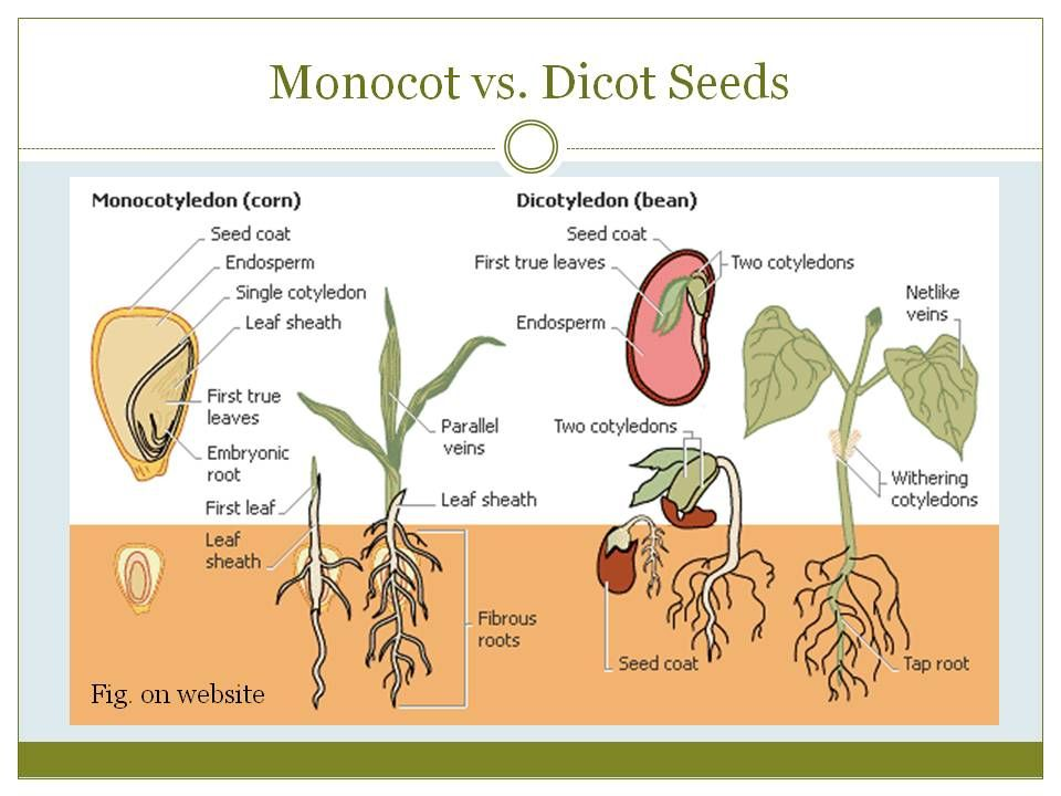 Difference between monocot and dicot pdf