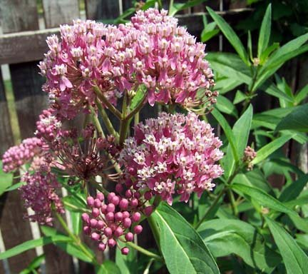 butterfly weed planting instructions